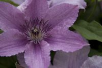 Bach bloesem - clematis